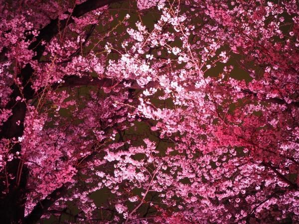 夜桜 千鳥ヶ淵