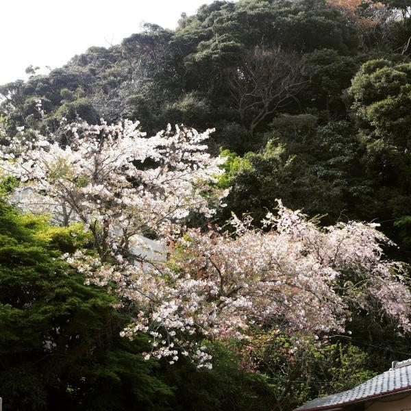 鎌倉 さくら